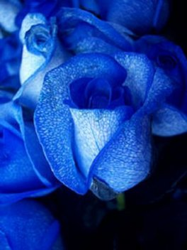2 blue roses